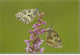 nature photos from Marc WEIS, butterflies, schmetterlinge, papillons